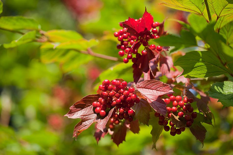 Die ersten roten Blätter