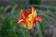 die ersten Tulpen im Freiland