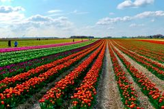 Die ersten Tulpenfelder blühen ...