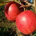 die ersten zwei äpfel !