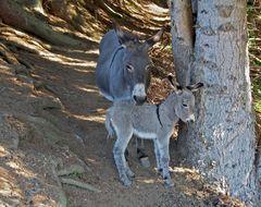 Die Eselin mit ihrem Fohlen Cindy... - Cindy avec sa mère!  (Photo 3)