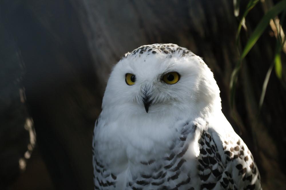 Die Eule gilt auch als Vogel der Weisheit