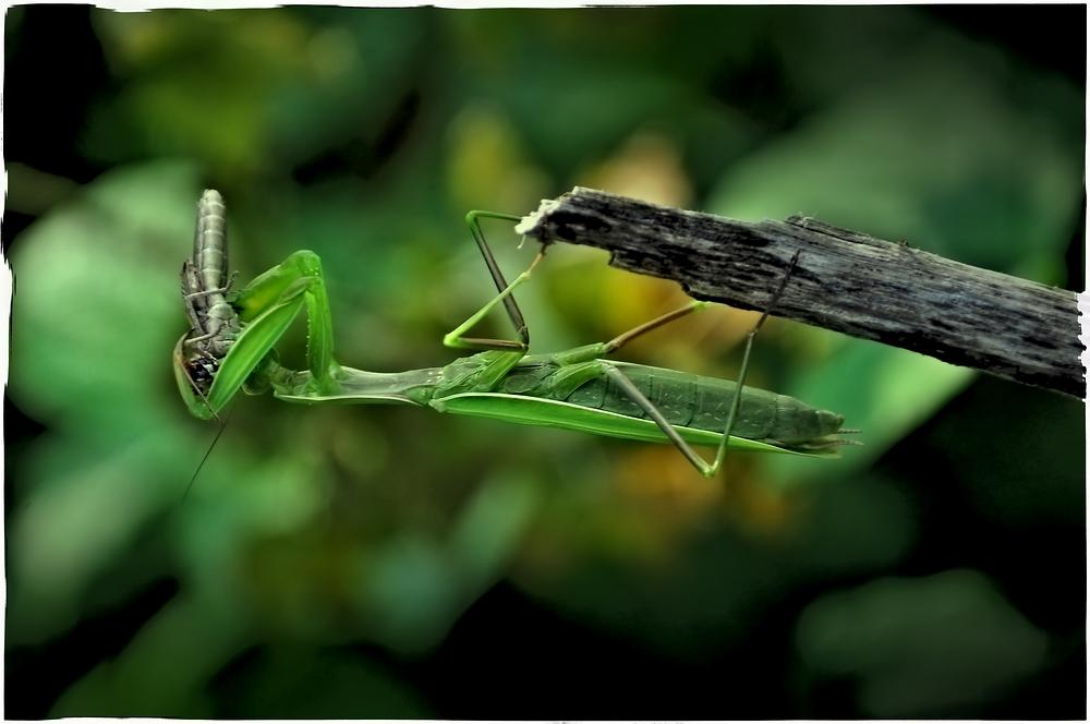 Die Europäische Gottesanbeterin (Mantis religiosa) ......