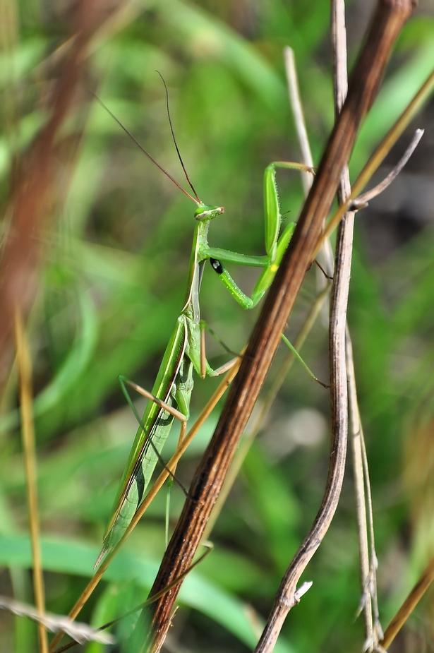 Die Europäische Gottesanbeterin (Mantis religiosa) ...