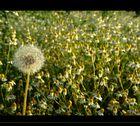 Die fantastische Kamillenwiese mit Goldkantenauszeichnung für besten Duft :)