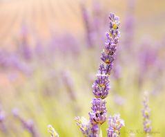 Die Farbe des Lavendel