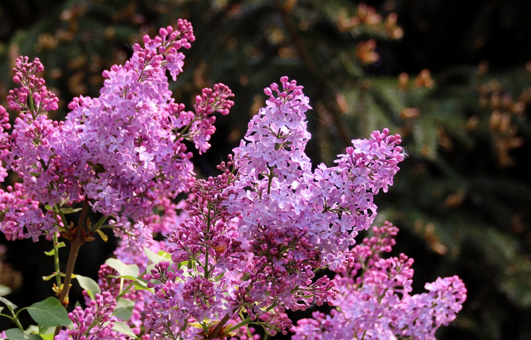 Die Farbe Lila Foto & Bild | bäume, baum, frühling Bilder auf ...