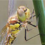 die farben der libelle (neue bea.)...