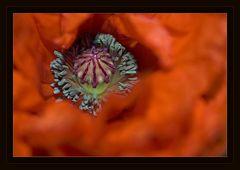 Die Farben der Mohnblume
