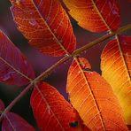 Die Farben des Essigbaumes...