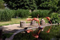 Die Flamingos im Zoo Dresden