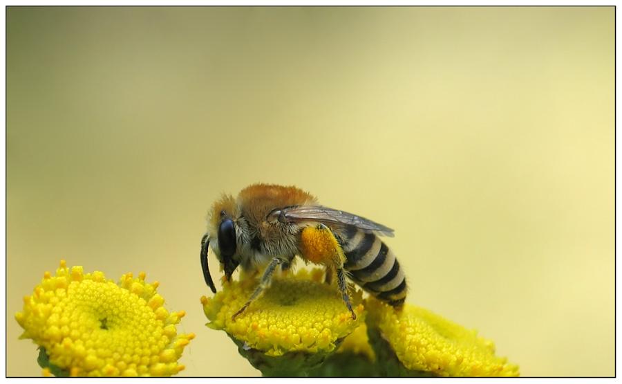 die fleißige Gemeine Seidenbiene