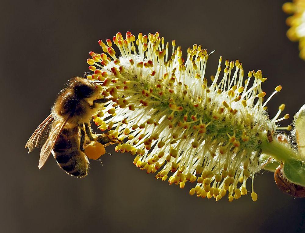 Die fleissige Honigbiene!