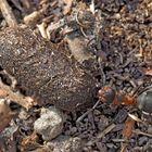 Die fleissige Waldameise. - La fourmi laborieuse.
