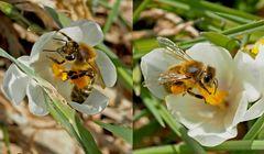 Die fleissigen Honigbienen geniessen die erste Frühlingswärme! - Les abeilles se sont révéillées...