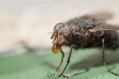 Die Fliege #1
