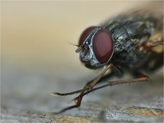Die Fliege....