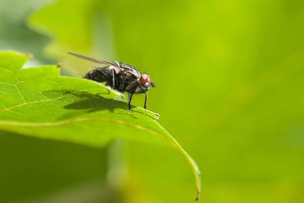 Die Fliege auf dem Weinlaub
