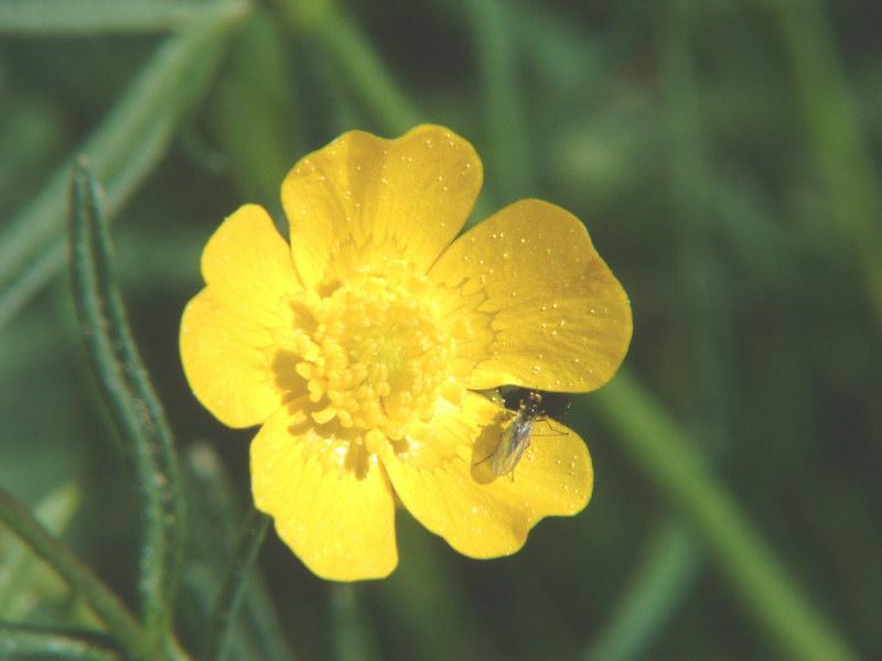 Die Fliege auf der Butterblume...