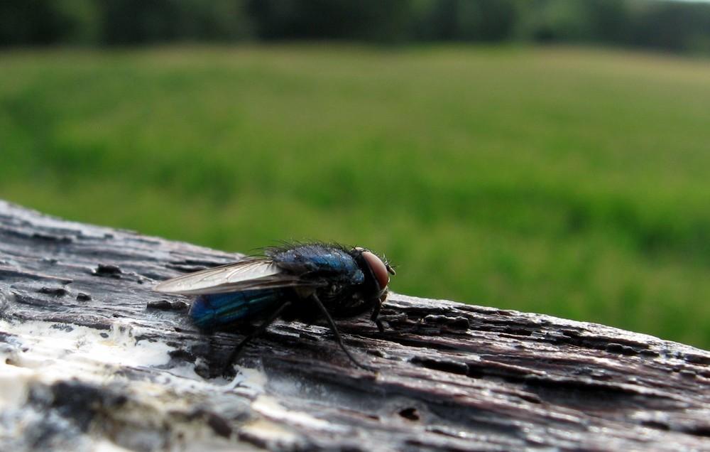 Die Fliege die in die Ferne guckt
