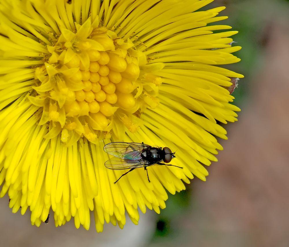 Die Fliege geniesst den Frühling auf einer Huflattichblume!