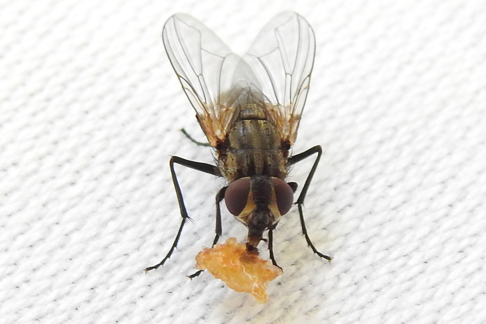 Die Fliege und der Krokantkrümel