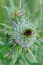 Die Fliege und die Distel