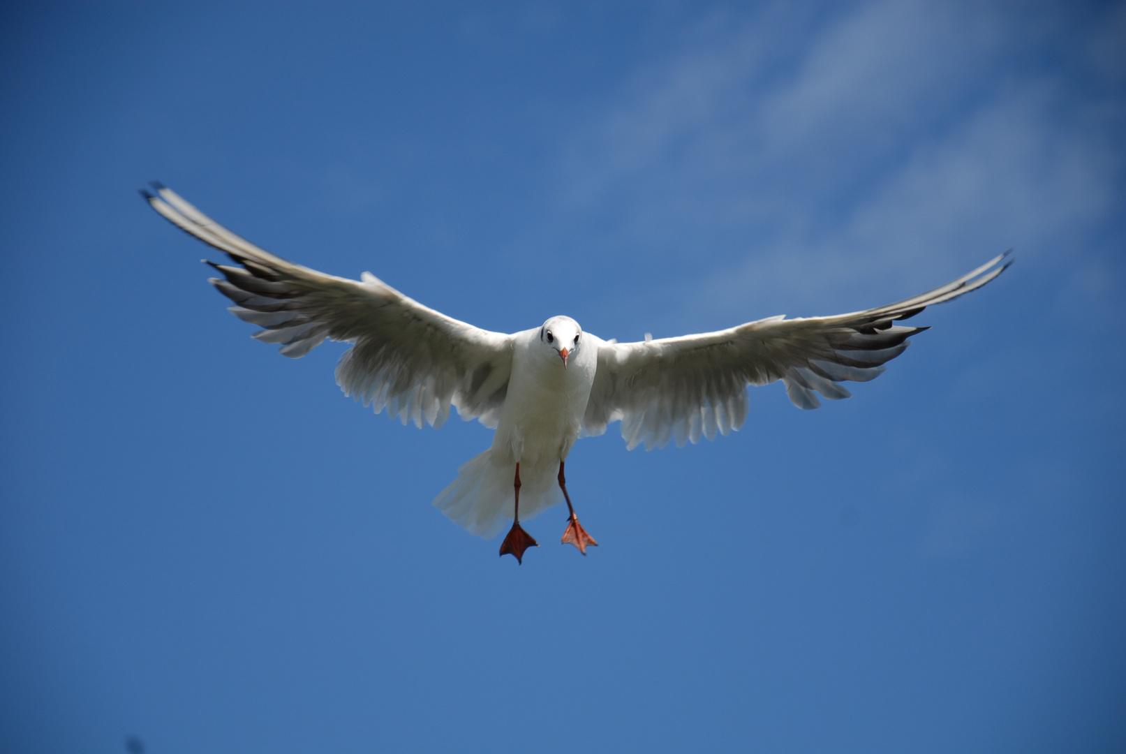 Die fliegende Möwe
