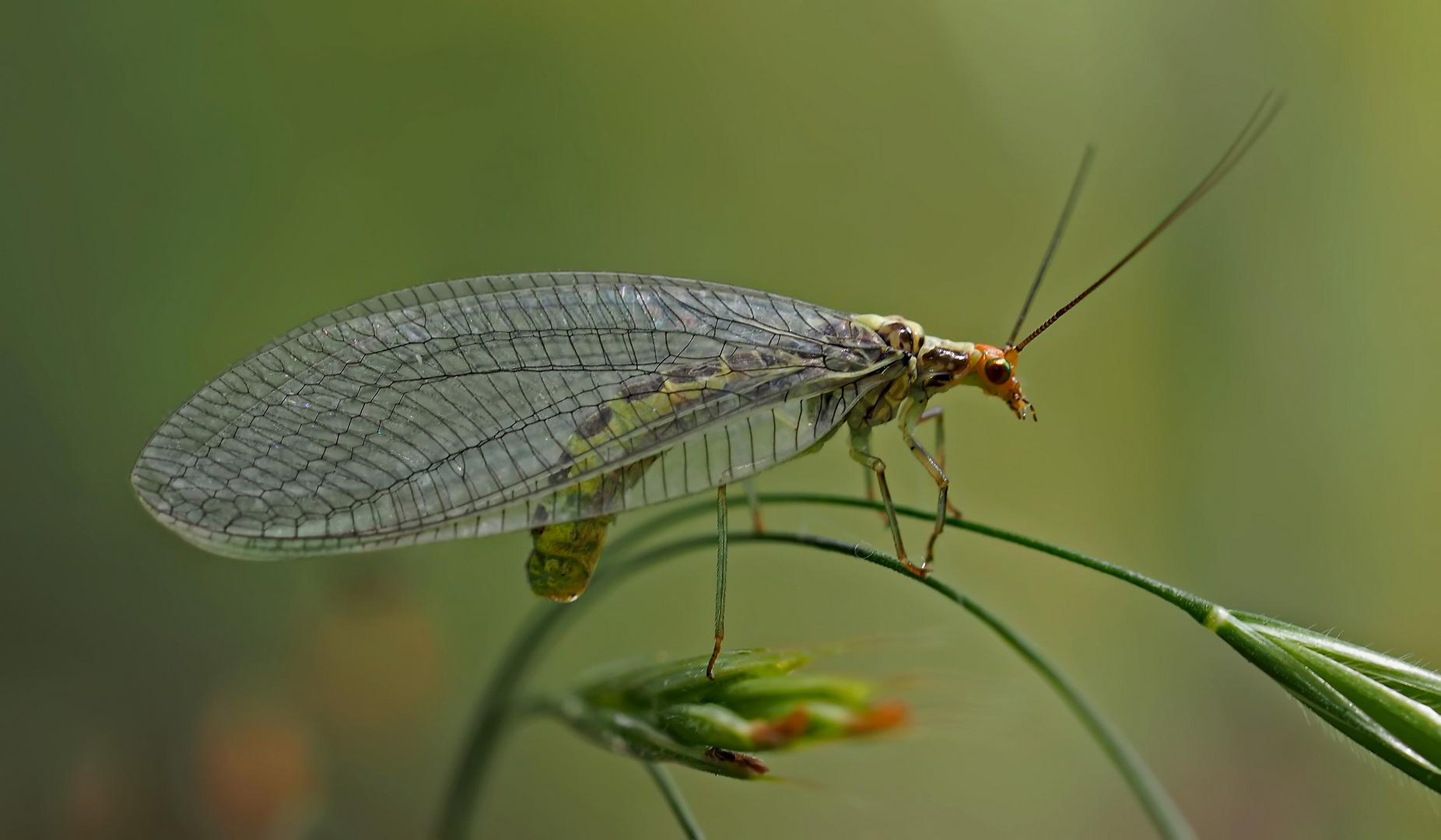 Die Florfliege, die nimmersatte Blattlausvertilgerin! * - La chrysope aime manger des pucerons...