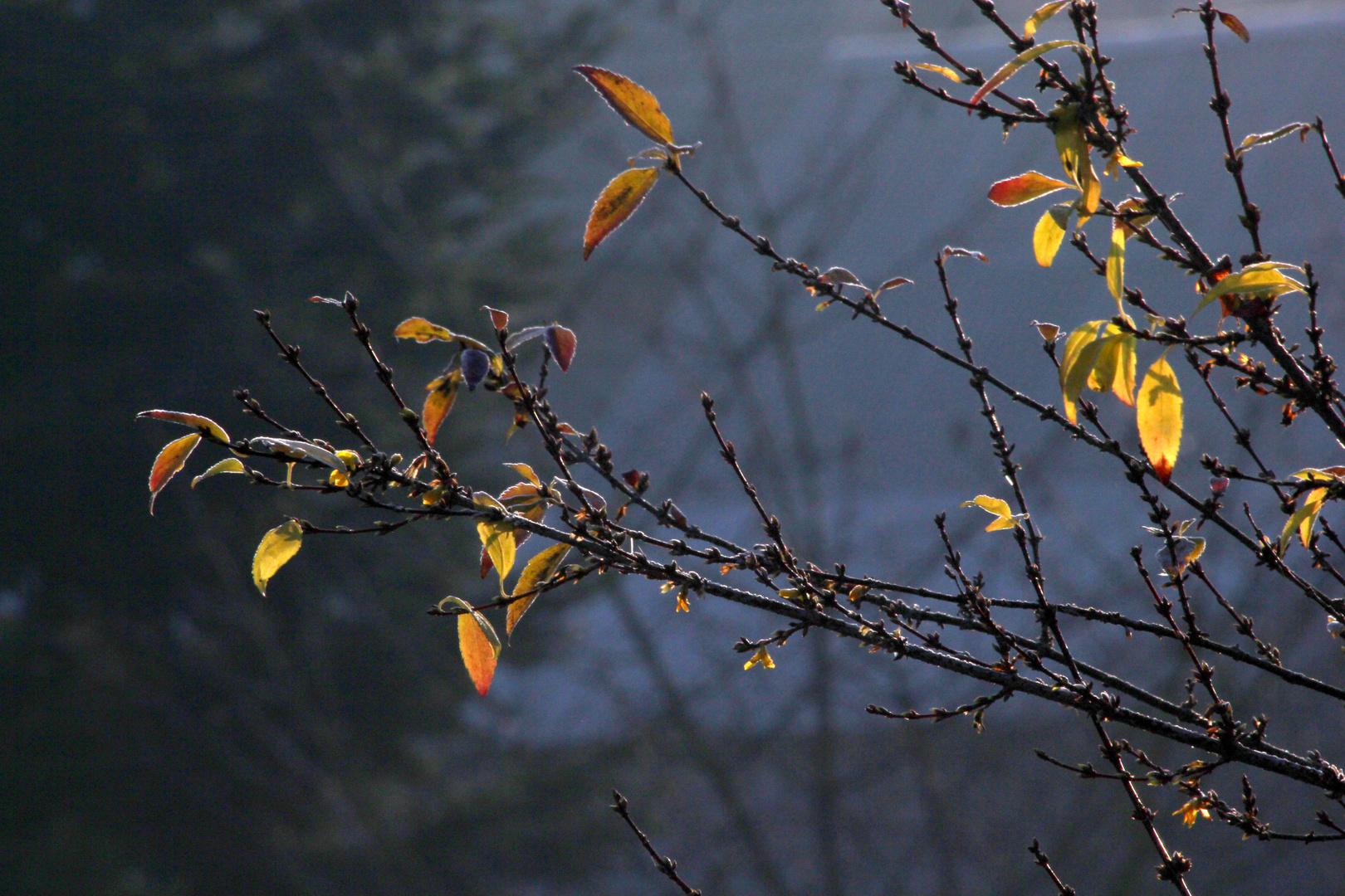 Die Forsythie blüht, von der Sonne getäuscht