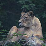 Die Frau vom König der Tiere