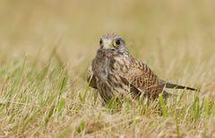 Die freundliche Turmfalken Dame (Falco tinnunculus) (2) ...