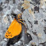 Die frisch geschlüpfte Setina aurita an einer grossen Felswand! * - Une petite beauté fragile!