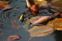 Die Frosche im Teich