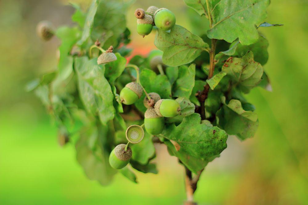 Die Frucht der Eiche