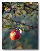 die früh-herbstliche Frucht....
