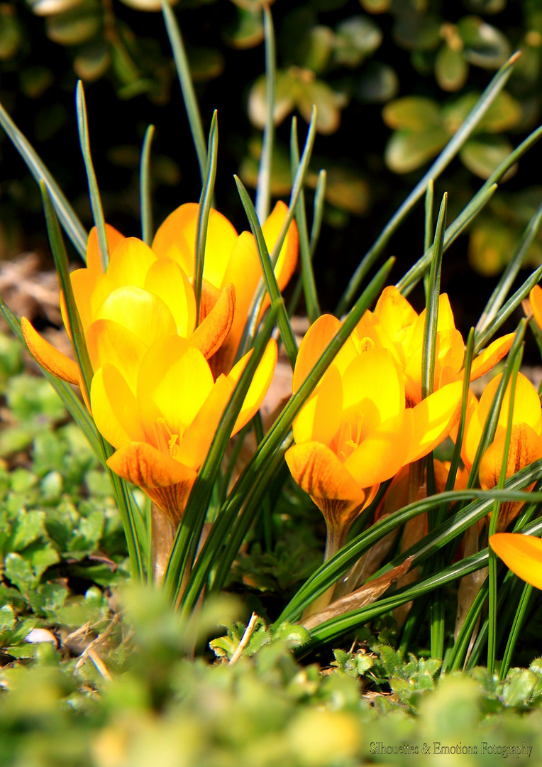 die Frühlingsboten