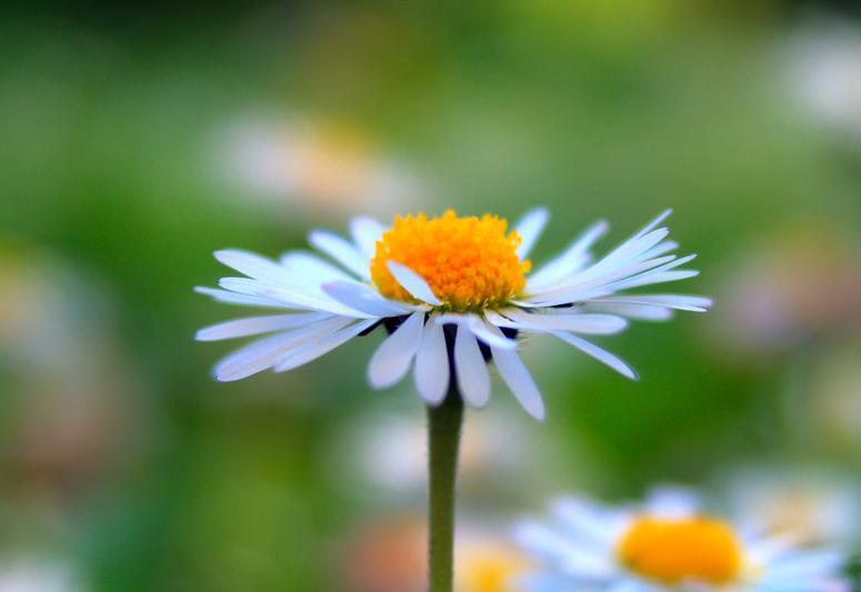 Die G Blume