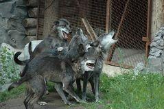 Die ganze Affenbande brüllt...