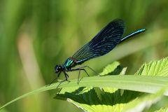 Die Gebänderte Prachtlibelle (Calopteryx splendens)...