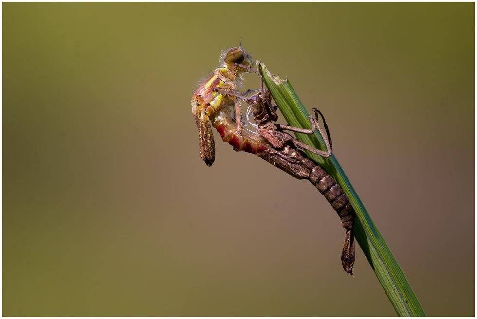 Die Geburt einer Libelle (frühe Adonislibelle)
