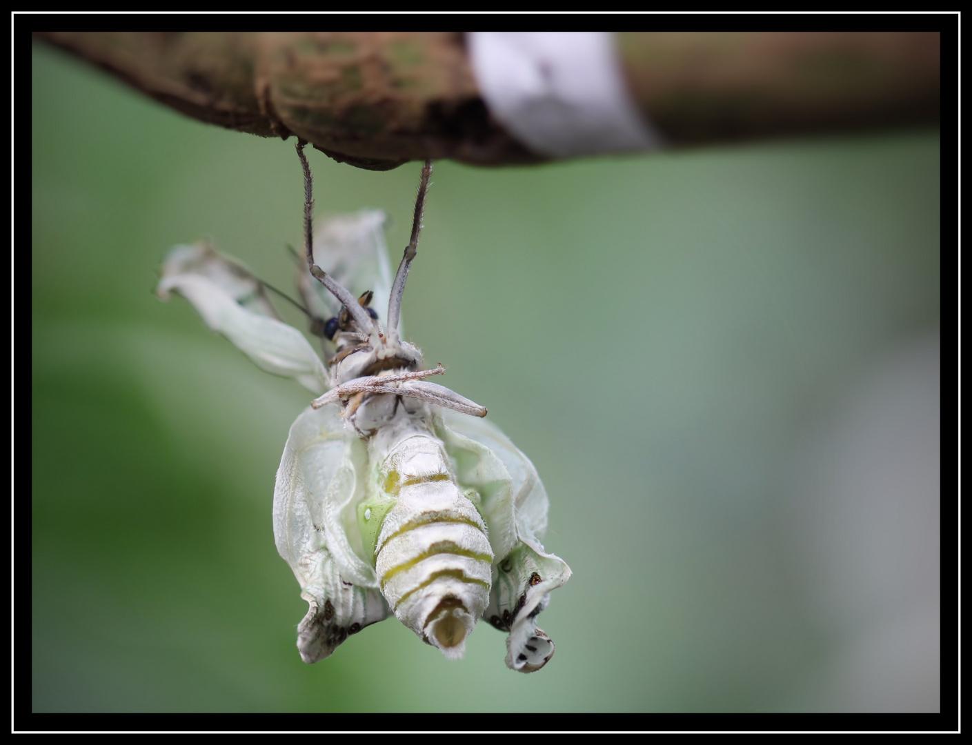 Die Geburt eines Schmetterlings