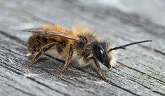Die Gehörnte Mauerbiene, eine Solitärbiene (Osmia cornuta) - L'Osmie cornue.