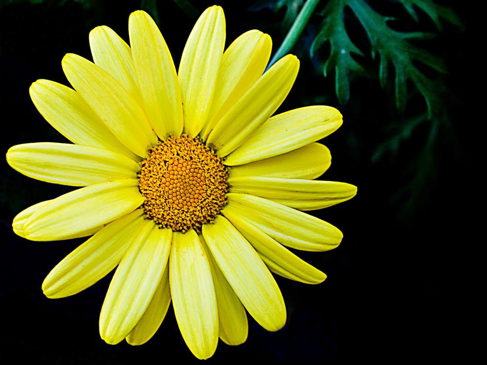 Die Gelbe