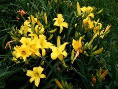 die gelbe Fraktion meiner Lilien