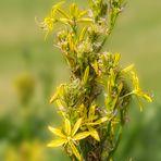 Die Gelbe Junkerlilie (Asphodeline lutea)