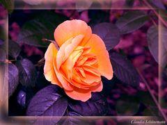 Die gelbe Rose!
