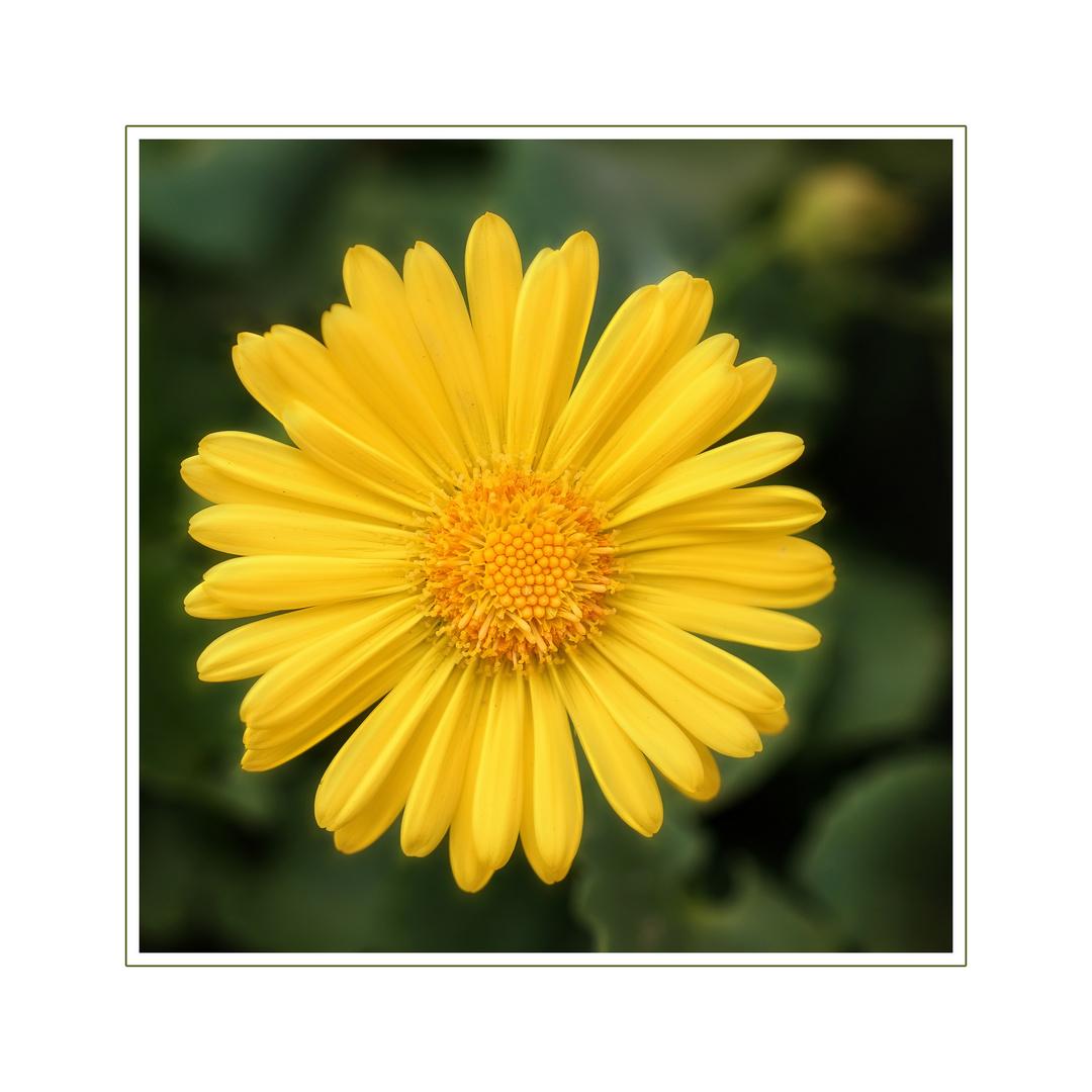 die gelbe Schönheit...