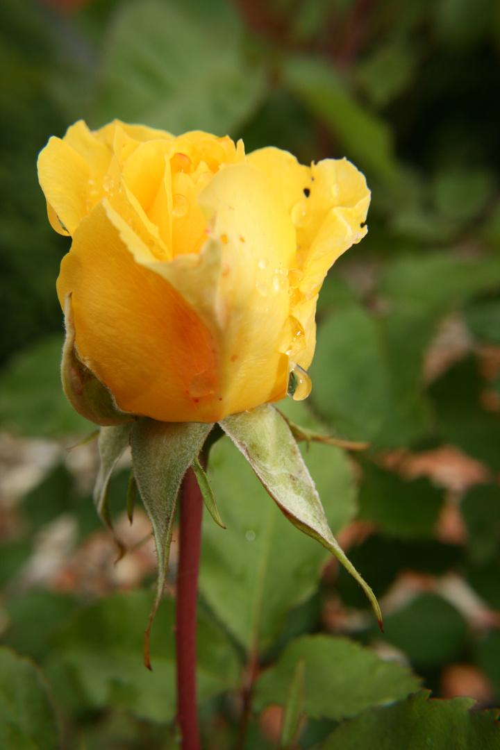 Die gelbe Schönheit