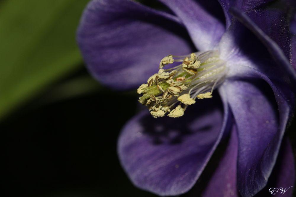 die Gemeine Akelei 'Aquilegia vulgaris'